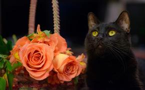 gato negro, COTE, gato, Roses, Flores
