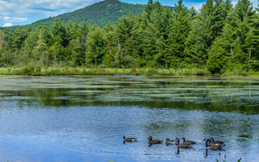 lake, trees, Geese, landscape