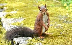 squirrel, Redhead, view