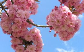 cereza, RAMA, Flores, cielo, flora