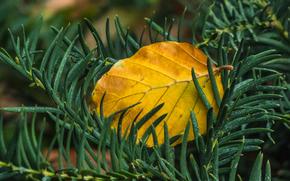 ветки, иголки, лист, осень, макро