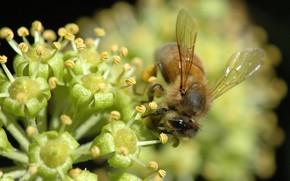 Макро: пчела, цветок, макросьемка, нектар