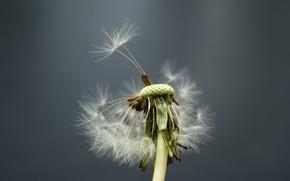 Макро: цветок, одуванчик, ветер