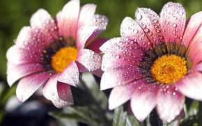 Макро: цветы, роса, капли, капельки, пррода