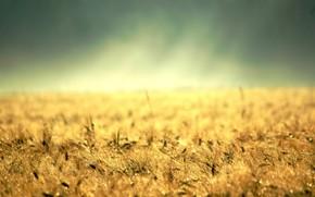 Макро: десктоп, желтая трава, золото, земля, колосс