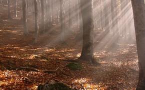 Природа: осень, лучи, листья, деревья, стволы, желтые опавшие листья, лес, ветки