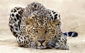 Животные: леопард, тигр, атака, кошки