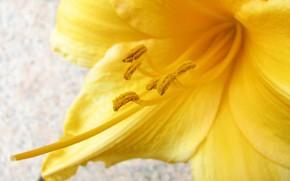 Цветы: макро, цветок, жёлтый, пыльца