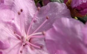 Цветы: цветок, розовый, нежный, макро