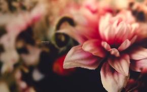 Цветы: цветок, макро, макросьемка, розовый