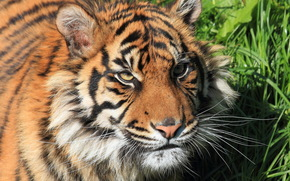 Животные: тигр, суматранский, морда, взгляд, усы, бакенбарды, кошка, трава