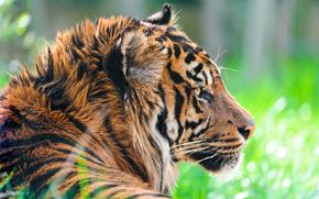 Животные: хищник, Суматранский тигр