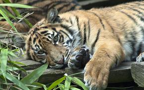 Животные: Суматранский тигр, тигрёнок, хищник