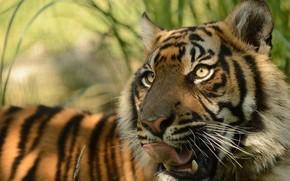 Животные: суматранский тигр, морда, киска, язык, хищник