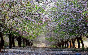 Природа: деревья. вишня, аллея, весна, цветение