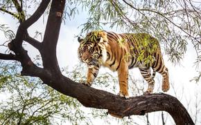 Животные: дерево, суматранский, хищник, тигр