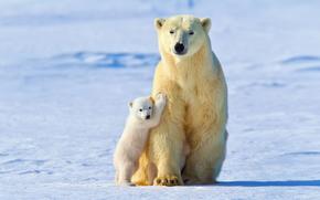 Животные: снег, малыш, белые медведи, Белая медведица, свет, зима