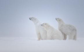 Животные: три, снег, белые, семья, медведи, вьюга