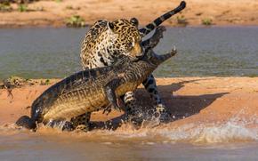Животные: ягуар, крокодил, южная америка, битва, охота
