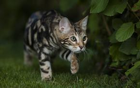 Животные: лето, взгляд, Бенгальский, окрас, сад, трава, бенгал, кот