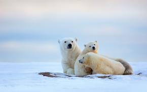 Животные: медведица, север, снег, зима, медвежата, белые медведи, холод