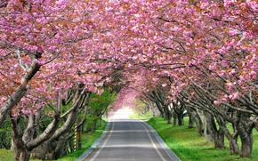 Пейзажи: дорожка, сакура, тонизирующее, оказывает, усталость, воздействие, цветущая, аллея, снимает, изображение, вишня, дорога, пейзаж