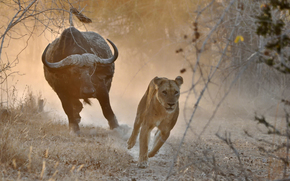 Ситуации: львица, бык, Африка, погоня