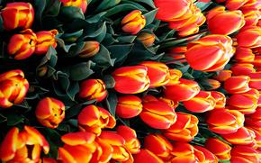 Текстуры: тюльпаны, много, цветы