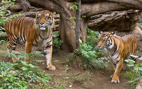 Животные: трава, суматранский, кошка, тигр, пара