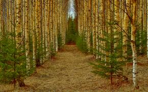 Природа: лес, аллея, берёзы