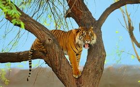 Животные: дерево, хищник, суматранский, тигр, морда