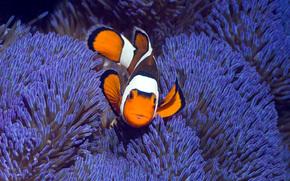 �����: Clown anemonefish, West Papua, Indonesia