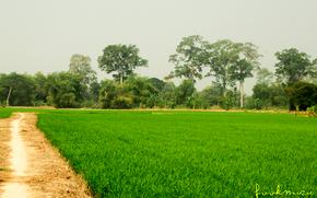 �������: Thailand, field, culture