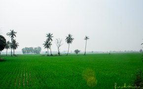�������: Thailand, field, culture