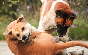 ��������: Dogs, Dogsthai, Thailang