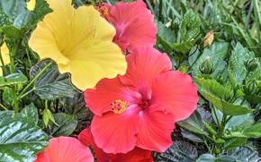 �����: Hibiscus, �����, ��������