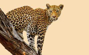 ��������: Leopard, �������, ������, ��������