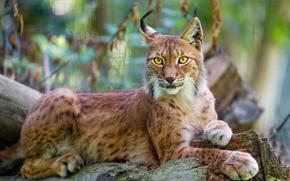 ��������: ��������� ����, siberian lynx, ������