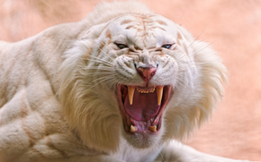 Девушки: белый тигр, хищник, оскал