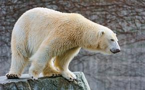 ��������: Polar bear, ����� �������, ������