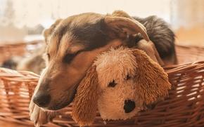Животные: собаки, собака, спящая, сон, морда, игрушка