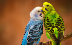 Животные: Волнистые попугайчики, птицы, парочка, любовь