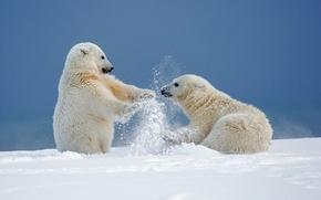 Животные: белые медведи, медведи, медвежата, Аляска, снег, зима, игры, забава