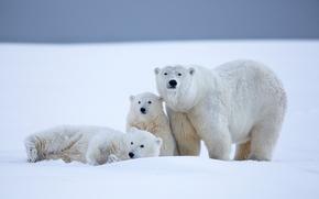 Животные: белые медведи, медведи, медведица, медвежата, детёныши, Аляска, снег, зима