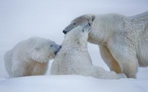 Животные: белые медведи, полярные медведи, медведи, Аляска, снег, зима