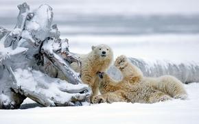 Животные: белые медведи, медведи, медвежата, Аляска, снег, зима, коряга
