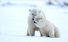 Животные: белые медведи, медведи, медведица, медвежонок, детёныш, Аляска, снег, зима