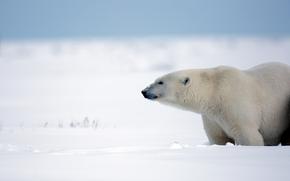 Животные: белый медведь, полярный медведь, медведь, Аляска, снег, зима