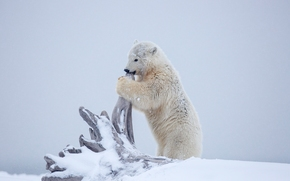 Животные: белый медведь, медведь, медвежонок, детёныш, Аляска, снег, зима, коряга