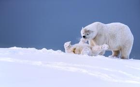 Животные: белые медведи, медведи, медведица, медвежонок, детёныш, игра, забава, Аляска, снег, зима